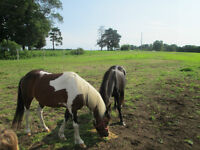 2 ponies and 2 saddles