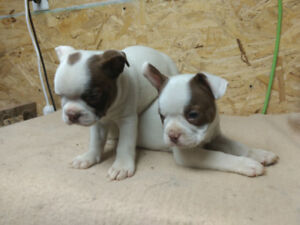 Frenchtons pups for sale