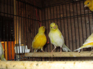 Yellow Canaries. London Ontario image 8