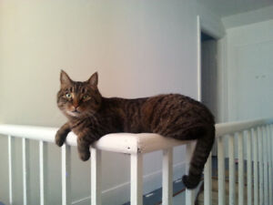 Sam - friendly, male, neutered, Tabby