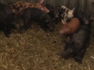 Weaners ready to go