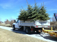 Blue Spruce And Cedar Hedge Trees Spring Sale