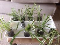 Spider plants -3 varieties available £1 each