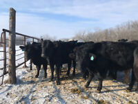 Bred Angus Heifers for sale