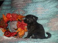 chihuahua puppies  1 male 1 female available
