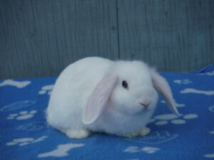 Beautiful Purebreed Holland Lop Bunnies For Sale