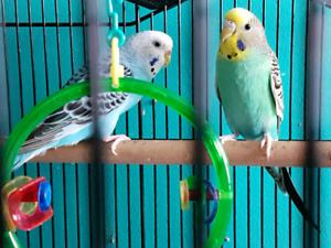 Budgies Need Loving forever Home