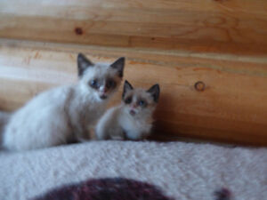 The cutest Siamese cross kittens for sale