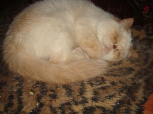 Exotic Short Hair Flame Point Himalayan