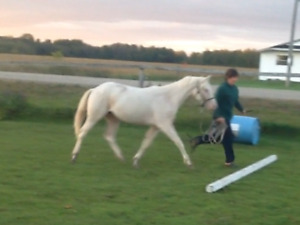 Cremello yearling pony filly $800