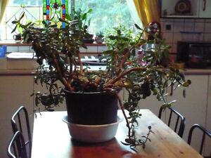 Large Beautiful Oriental Jade Plant