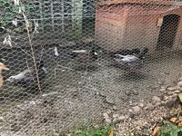 7 Call Ducks for Sale