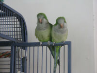 STILL AVAILABLE - Green Quaker Parrots to a Good Home!