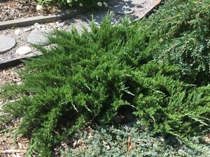 FREE Shrub for outdoor landscaping