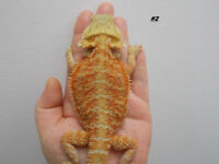#2 femelle dragon barbu hypo translucides/// bearded dragon