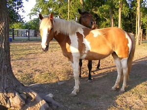 3 years old Pinto Filly 15 hands