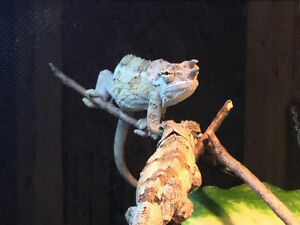 Werners Three Horned Chameleon