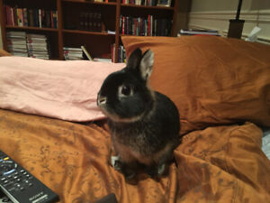 Adorable Dwarf Bunny (Olly) for Sale $80.00