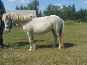 The Best Kids Miniature AMHR Registered and Bred Pinto Perlino