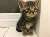Baby Boy Kitten- He is So Cute