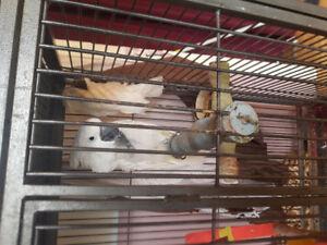 2 Beautiful Male Cockatoos