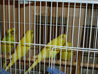 Budgies and Canaries for Sale