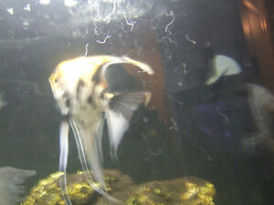 one proven breeding pair of Gold Marble Angelfish