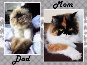 Persian kittens for reservation
