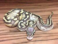 Royal pythons CB2016