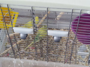 Pair of budgies(only) for sale...