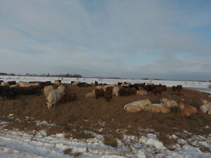 80 BRED COWS AND HEIFERS FOR SALE Calving in MAY & JUNE