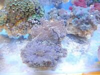 Corals for sale Romford