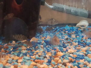 Lots of Convict cichlids fry