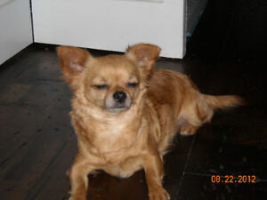 Chihuahua  missing / stolen