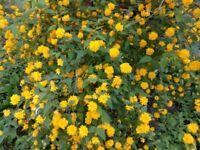 Kerria japonica flowers plants