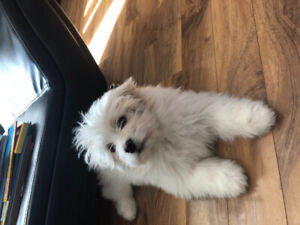 Lhasa apso mix with Bichon pup