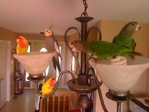 Parrot Groomer Will Clip Wings, Trim Nails and File Beaks Peterborough Peterborough Area image 2
