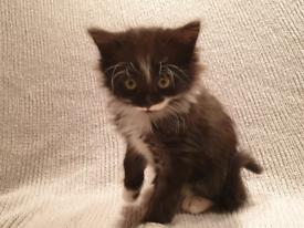 Long haired Fluffy Tuxedo Kitten