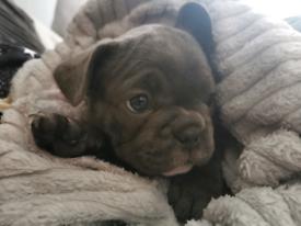 🐾 Kc registered French bulldogs 🐾