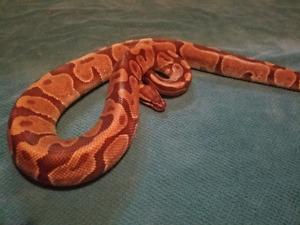Python royal de phase : Enchi
