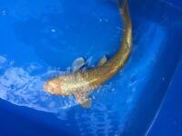 Koi carp pond fish