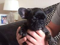 Kc reg French bulldog for sale
