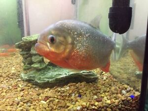 Piranha for sale