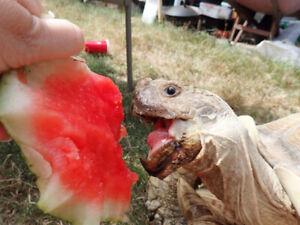 Adult male sulcata tortoise. -adoption pending