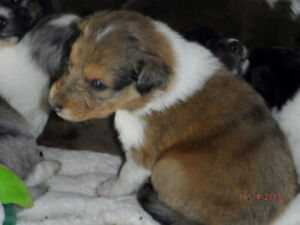 7 Rough Collie x Aussie Pups/ 3 BERNEDOODLE Pups