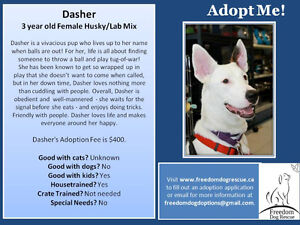 Dasher - 3 year old Female Husky/Lab Mix