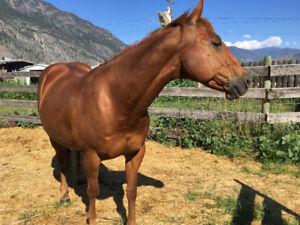 Quarter horse mare 13 yrs