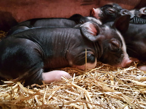 Purebred Berkshire piglets for sale