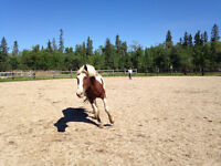 17 year old Paint gelding for sale