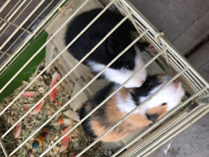 Two female Guineapigs with a cage